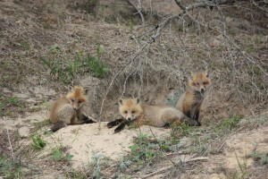 Foxes_Spring_2013_034__3_